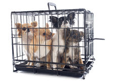 Chihuahuas in kennel Stock Image