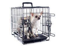 Chihuahuas in kennel Stock Photography