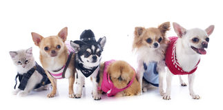 Chihuahuas, kitten and chicken Royalty Free Stock Photos