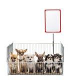 Chihuahuas in kooi Royalty-vrije Stock Foto's