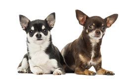 Chihuahuas lying along each other, isolated Royalty Free Stock Photos