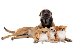 Chihuahuas and malinois. Portrait of a cute purebred chihuahuas and malinois in front of white background Royalty Free Stock Image