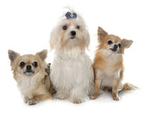 Chihuahuas and maltese dog Stock Images