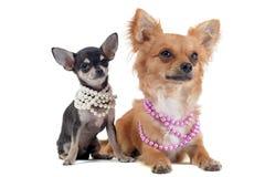 Chihuahuas med den pärlemorfärg kragen royaltyfri foto
