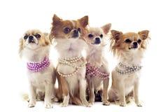 Chihuahuas med den pärlemorfärg kragen royaltyfria bilder