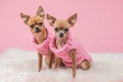 Chihuahuas med rosa tröjor Arkivfoto