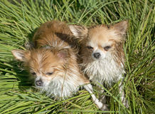 Chihuahuas in nature Stock Images