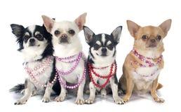 Chihuahuas och krage arkivbild