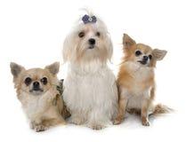 Chihuahuas och maltese hund Arkivbilder