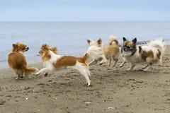 Chihuahuas op het strand royalty-vrije stock foto's