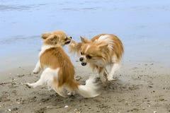 Chihuahuas op het strand Stock Afbeeldingen