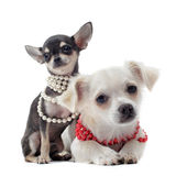 Chihuahuas with pearl collar Stock Photos