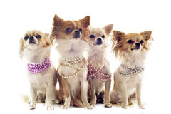 Chihuahuas with pearl collar Royalty Free Stock Images