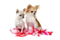 Chihuahuas with pink feather Royalty Free Stock Photo
