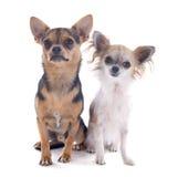 Chihuahuas Stock Photo