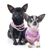 Chihuahuas Royalty Free Stock Photography