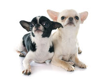 Chihuahuas Stock Photography