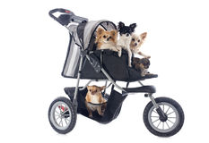 Chihuahuas in pushchair. Portrait of a cute purebred  chihuahuas in pushchair Stock Photos