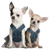 Chihuahuas que desgastam a sarja de Nimes Imagem de Stock