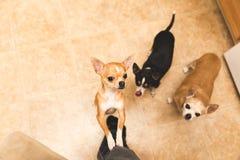 Chihuahuas que recolectan en cocina Imagen de archivo libre de regalías