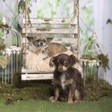 Chihuahuas que se sientan y que mienten Imágenes de archivo libres de regalías