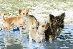 Chihuahuas in the river Royalty Free Stock Photo