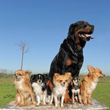 Chihuahuas and rottweiler stock image