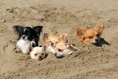 Chihuahuas in the sand Royalty Free Stock Photography