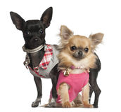 Chihuahuas sitting Stock Photography