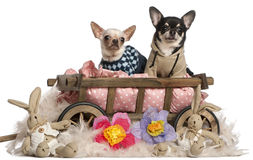 Chihuahuas sitting in dog bed wagon Stock Photography
