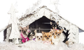 Chihuahuas sitting and dressed Stock Photo