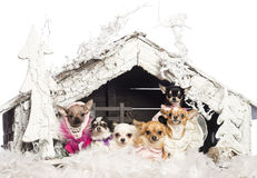 Chihuahuas sitting and dressed Stock Photos