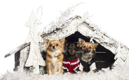 Chihuahuas sitting and dressed Royalty Free Stock Photo