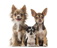 Chihuahuas sitting Royalty Free Stock Images