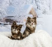 Chihuahuas sitting on fur rug in winter scene, portrait. Chihuahuas sitting on fur rug in winter scene Stock Images