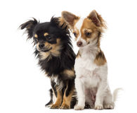 Chihuahuas sitting and staring Stock Photos