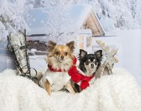 Chihuahuas sitting together on fur in winter scene. Chihuahuas sitting together on fur, winter scene Royalty Free Stock Photo