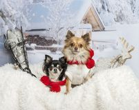 Chihuahuas sitting together on fur in winter scene. Chihuahuas sitting together on fur, winter scene Royalty Free Stock Images