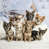 Chihuahuas sitting together in winter scene, portrait. Chihuahuas sitting together, winter scene, portrait Royalty Free Stock Photography