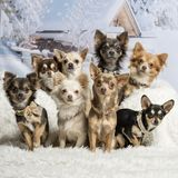 Chihuahuas sitting together in winter scene, portrait. Chihuahuas sitting together, winter scene, portrait Royalty Free Stock Photo