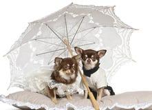 Chihuahuas sitting under parasol Stock Photos