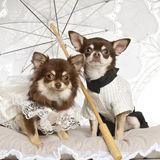 Chihuahuas sitting under parasol Royalty Free Stock Images