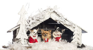 Chihuahuas sitting and wearing Christmas suit Royalty Free Stock Image