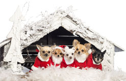Chihuahuas sitting and wearing a Christmas suit Royalty Free Stock Photography