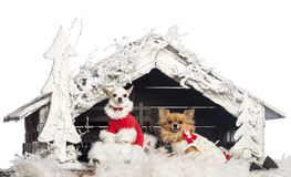 Chihuahuas sitting and wearing Christmas suits Stock Images