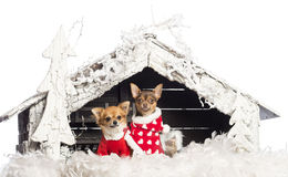 Chihuahuas sitting and wearing Christmas suits Royalty Free Stock Images