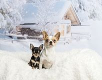 Chihuahuas sitting on white fur rug in winter scene. Chihuahuas sitting on white fur rug, winter scene Royalty Free Stock Photos