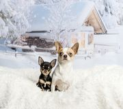 Chihuahuas sitting on white fur rug in winter scene, portrait. Chihuahuas sitting on white fur rug, winter scene Stock Photo