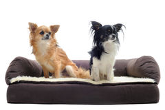 Chihuahuas on sofa Royalty Free Stock Photos