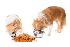 Chihuahuas som äter i studio arkivfoto